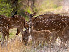 Ranthambhore National Park, Rajasthan, India. Axis, chital o ciervo moteado. #NatGeoWILD [Foto del día - julio 2016]