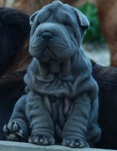 sharpei-dog.net forget it, I'm getting a dog.