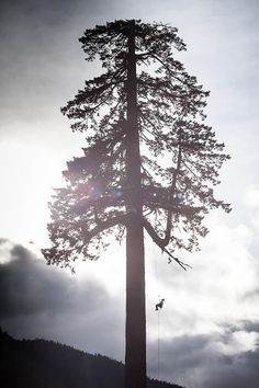 Big Lonely Doug Tree climbers scale Big Lonely Doug, Canada's second-largest Douglas-fir.