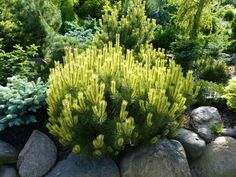 Pinus mugo 'Albospicata Domschke'