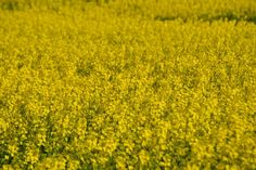 Mustard field 2 - Desktop Nexus Wallpapers