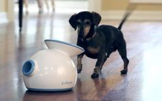 Dog owners who are tired of playing fetch with their pet pooches can now sit back and relax - as the latest doggie gadget can do it for you. The contraption dubbed the iFetch will launch tennis balls for dogs to catch and bring back without any human interaction.