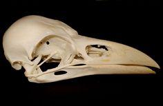One genuine Icelandic beautiful raven skull (Common raven) Educational,Taxidermy #RavenCorvuscorax