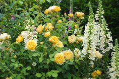 Graham thomas more roses i covet pinterest rose graham thomas rosa graham thomas english rose graham thomas thecheapjerseys Images