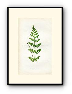 Edward Joseph Lowe Fern (Cystopteris Tenuis) Antique Botanical Print, 1859 Wood Block Engraving, Book Plate by TheOldMapShop on Etsy