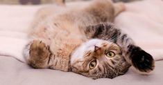 Is Your Cat Sleeping Too Much — or Not Enough? Cats sleep — a lot — but what's normal and what's not? Discover some facts on cat sleeping habits from kittens to adult cats to senior kitties. Sleeping Too Much, Cat Sleeping, Cat Stretching, Cat Crying, What Cat, Owning A Cat, Image Cat, Cat Behavior, Cat Health