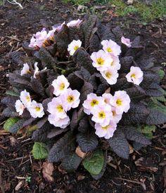 Primula vulgaris 'K74' Kennedy Irish Drumcliff