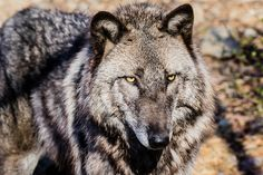 British Columbian Wolf - 1