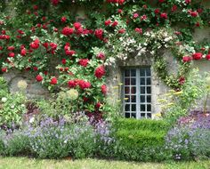 .Beautiful roses over a window in an English country home..