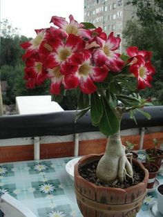 ROSA DO DESERTO.. também conhecida como flor do deserto, é uma planta originária do Sul da África e da Península Arábica. O seu nome científico é Adenium obesum e faz parte da família Apocynaceae. Rosa do Deserto  Esta plantas podem alcançar os 4 metros de altura e um metro e meio de largura. Apresentam flores deslumbrantes e como são plantas habituadas ao clima do deserto, também se adaptam e se desenvolvem bem em países tropicais.