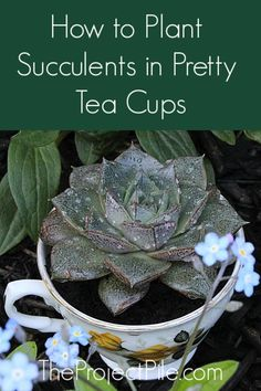 added succulents to your home yet? These are really beautiful and hardy plants, that are very easy to care for. Here, I will show you how to pot succulents in pretty teacups and teapots, without drainage holes. Indoor Gardens, Container Garden Design, Plants, Succulents, Hardy Plants, Ornamental Grasses, Succulent Pots, Container Garden Succulents, Container Gardening