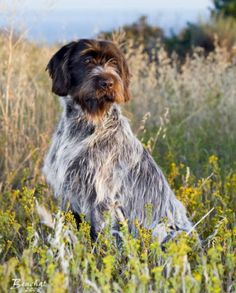 This is the next dog I would like to have Wirehair Pointing Griffon Wirehaired Pointing Griffon, Griffon Dog, Huge Dogs, I Love Dogs, Animals And Pets, Cute Animals, German Shorthaired Pointer, Hunting Dogs, Dog Portraits