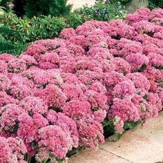 Vibrant pinkish-red flowers bloom in late summer into fall over tight clumps of greenish-gray foliage. The hardy perennial is very heat and drought tolerant. Flowers are long-lasting in the garden and can be dried and used as an attractive addition to floral designs. #1 field-grown plant. Sedum spectabile 'Carl' $7.99