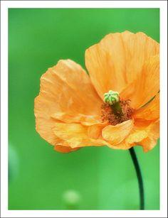 "Poppy ""Tangerine Gem"" from my garden, grown from seed."