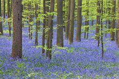 Giacinti selvatici nella foresta di Halle - Belgio