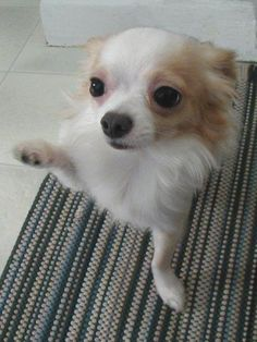Why, yes... you may kiss my paw. #chihuahua