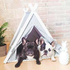 French Bulldogs just hanging out in the teepee.