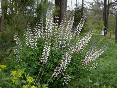 Baptisia alba--should do well on the sunnier side (perhaps between the trees and the road?
