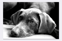 Hola Lóis photographed by Monique Gidding on Flickr #dog #pointer #black_and_white #flickr