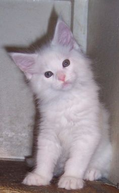 Maine coon kittens for sale in la