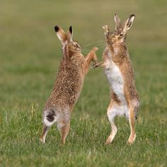 Brown Hare Boxing (1)