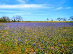 2014 Bluebonnets under blue skies at LBJ State Park and Historic Site near Fredericksburg
