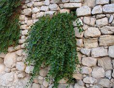 Le caratteristiche della pianta del cappero e i suoi utilizzi