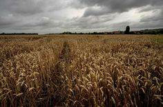 Wheat, one of the world's most important crops, is being threatened by climate…