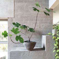 A simple fig plant (Purple Area AB) # fig plant - All For Herbs And Plants Green Plants, Potted Plants, Indoor Plants, Succulents Garden, Planting Flowers, Arreglos Ikebana, Decoration Plante, Pot Plante, Interior Plants