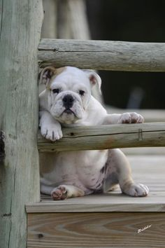 photo ... And the reason is you ... one adorable bull dog pup stares through fence ...