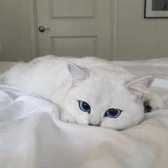 Gato de olhos azuis causa alvoroço na internet