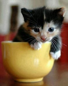 A little kitten in a teacup…how cute is that?