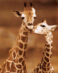 Resultado de imagem para giraffe