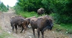 Rewilding Southern Carpathians – two herds of bison wandering in Țarcu Mountains | The Romania Journal