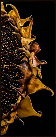 Sunflower by kfpsardou http://flic.kr/p/phYyMG
