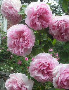 Madame Ernest Calvat (Bourbon) This plant produces large, beautifully-formed rose pink blooms all season. This is an outstandingly decorative rose with all the best old-time features!