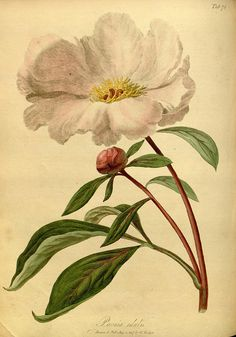 ✿Colour of Flower✿ vintage Peony