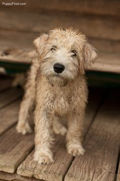 Soft Coated Wheaten Terrier    i shall keep him and i shall name him Abernathy Fisticuffs. Says pinner before me