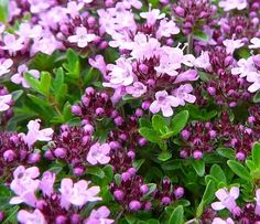 Mother-of-Thyme care instructions Perennial zones 4-9