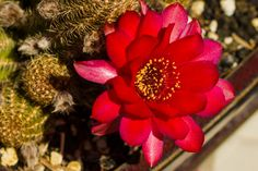 Chamaelobivia cactus flowering Oh, My! I just bought one-I hope mine does that! Of course, it has already bloomed, so I have to wait a year! -PJ