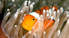 Clownfish Clownfish, This Is Us Quotes, Underwater World, Marine Life, Sea Creatures, Animal Pictures, Animals, Products, Art