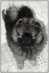 Pomeranians from Showin Poms Wolf Sable Pomeranian, Pomeranians, Puppys, Dogs, Animals, Image, Puppies, Animaux, Doggies
