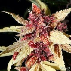 ♡http://www.spliffseeds.nl/silver-line/blue-berry-seeds.html Gorgeous coloring
