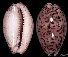 Luria cinerea brasilensis  Lorenz, F., 2002 Brazilian Cinerea Shell size 15 - 40 mm N Braz