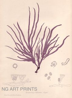 Antique Seaweed Print 1850s Vintage Shell Print by NGArtPrints, $40.00