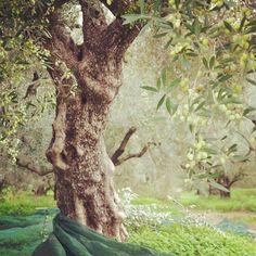#uliveti - #olive grove