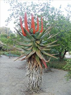 Aloe ferox How To Attract Birds, Water Wise, In Cosmetics, Cape Town, Art Paintings, Art Girl, Africa, Gardens, Landscape