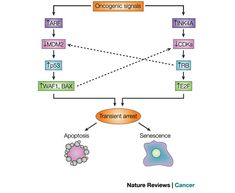 http://www.nature.com/scitable/content/the-p53-and-rb-tumour-suppressor-pathways-14267125