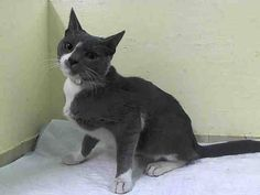 ***SAFE*** 11/29/14 Manhattan Center  My name is JERGENS. My Animal ID # is A1019445. I am a male gray and white domestic sh mix. The shelter thinks I am about 8 MONTHS old.  I came in the shelter as a STRAY on 11/02/2014 from NY 10452, owner surrender reason stated was STRAY.