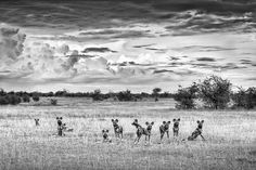 black and white fine art image of wild dogs in Botswana by wildlife photographer Dave Hamman Wildlife Photography, Animal Photography, African Wild Dog, Wild Dogs, African Animals, Wildlife Art, Art Images, Fine Art Prints, Canvas Art